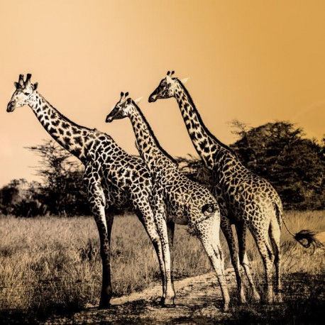 IMAGINE Girafes Toile - 30X30