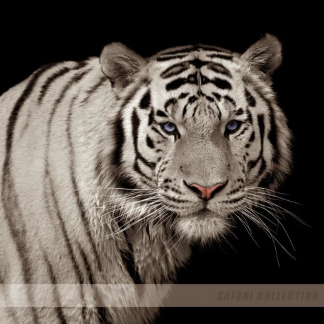 IMAGINE Tigre Blanc - 30X30